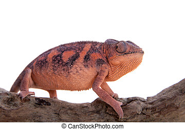 The panther chameleon, Furcifer pardalis on white - The...
