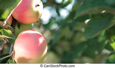 two red apples on a tree. Close-up