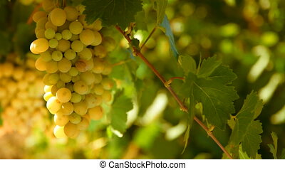 bunches of White wine grape Italy on a background of blue...