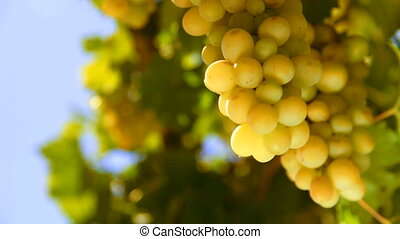 bunch of White wine grape Italy on a background of blue sky....