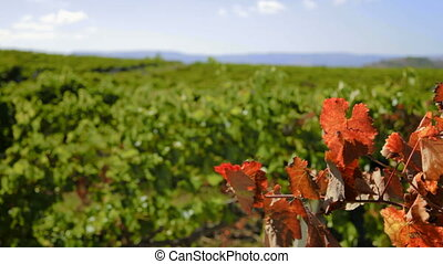 Autumn grape leaves - Autumn colors over some grape leaves