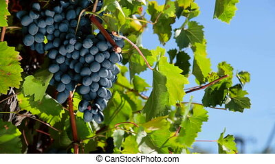 ripe grapes Moldova ready for harvest Ukraine, Crimea,...