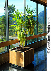 Indoor plant at Bonneville, Oregon - A big Yucca plant on...