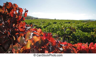 Autumn field - Autumn colors over some grape leaves