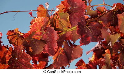 Autumn foliage - Autumn colors over some grape leaves