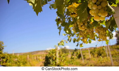 White wine grape Italy Ukraine, Crimea, Inkerman