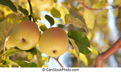 two apples on tree - two yellow apples on a tree. Close-up
