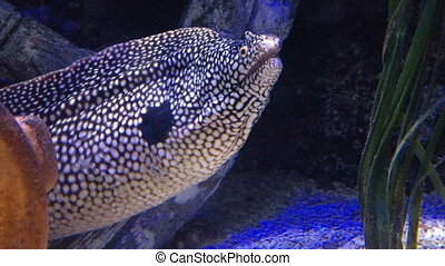 Close up of honeycomb moray eel underwater - White-spotted,...
