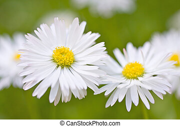 Beautiful daisies Floral background Shallow focus