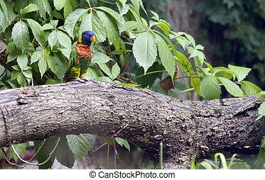 Amazon Parrot (Amazona aestiva) on tree brunch