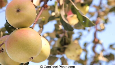 Ripe Apples on Tree - four ripe apples ready for picking