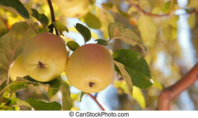 Two Apples on a Branch - two ripe apples on a branch in the...