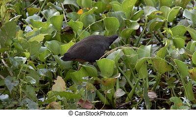 A type of wild bird in Sri Lanka