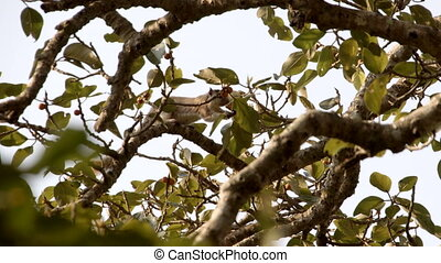 Moving shot of squirrel eating fruits on a tree