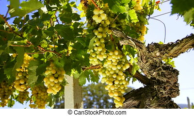 White wine grape