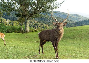 Wild deer mountain