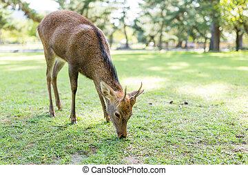 Wild deer eating grass