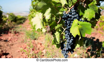 ripe grapes Moldova ready for harvest. Ukraine, Crimea,...
