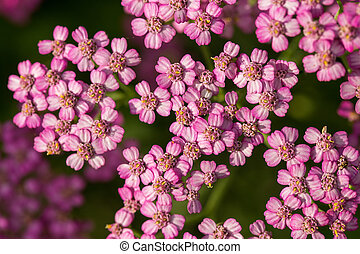 A beautifu pink garden yarrow on a natural background....
