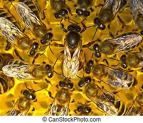 Queen bee lays eggs in the honeycomb. - Queen bee is always...