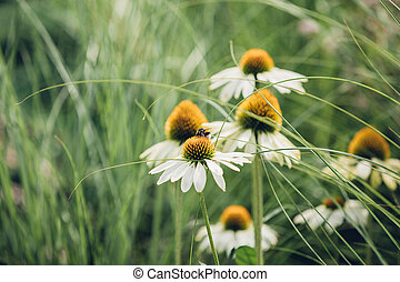 Bee sits on daisy flower around a grass, natural background...