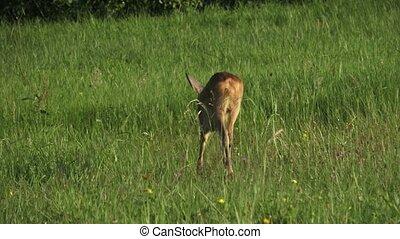 Roe deer, Capreolus capreolus on a meadow