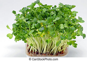 Watercress - Fresh Edible Healthy Watercress in Tray