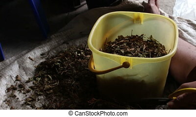 worker cutting dry herb in to Plastic buckets