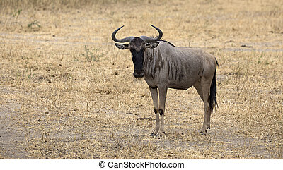 African wildebeest in Tarangire national park Tanzania