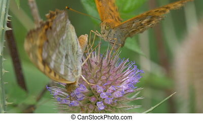 Kaisermantel Butterfly - Argynnis Paphia - Closeup - Native...