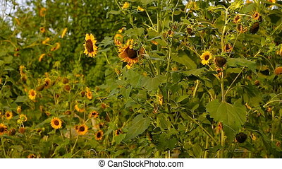 Sunflowers in full bloom, In windy weather, at sunset....