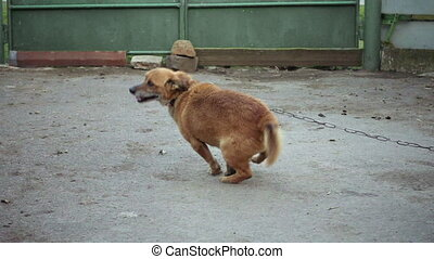 Dog on a chain of barks jumps in slow motion. People in...