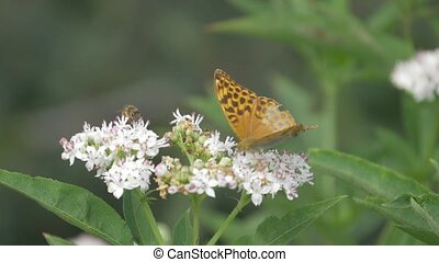 Kaisermantel Butterly - Argynnis Paphia - Closeup, Slowmo -...