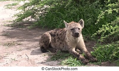 Hyena Kenya Africa savannah wild animal mammal - Africa...