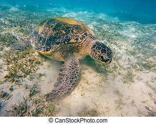 Adult green sea turtle (Chelonia mydas) grazing in red sea,...