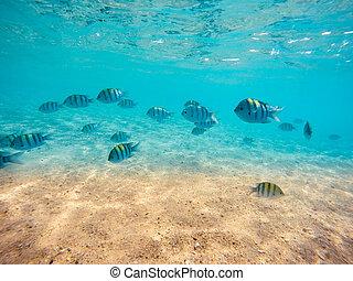 group of sergeant major damselfish in red sea - School of...
