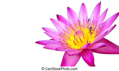 Lotus flower on isolated white background