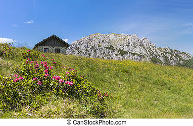 Hairy Alpenrose with old stone hut and mountain Gartnerkofel...