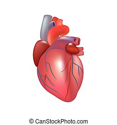 Realistic human heart isolated on white background.