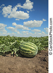 Watermelon fruit in field