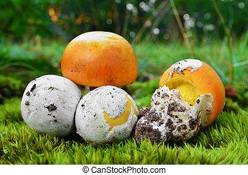 amanita caesarea mushroom bulb in the forest
