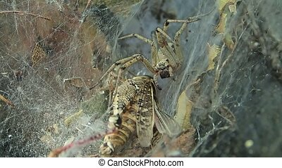 Yellow funnel web spider near a locust - A funnel web spider...