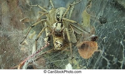 Yellow funnel web spider eating its prey - A funnel web...
