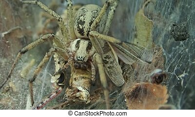 Yellow funnel web spider eating a locust, closer frame