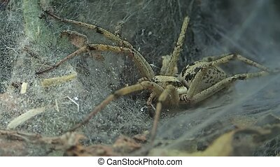 Yellow funnel web spider - A funnel web spider