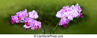 A close up of a pink orchid with water drops. - Macro shot...