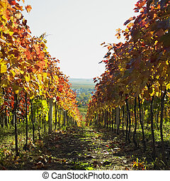 vineyard, Cejkovice, Czech Republic