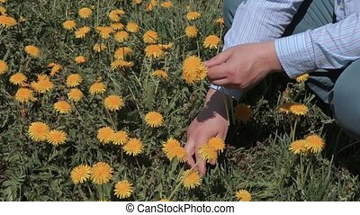 Man pick up dandelions in meadow