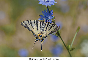 Scarce swallowtail butterfly feeding on a blue chicory...