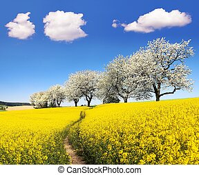 Rapeseed field with parhway and cherry trees - Rapeseed,...